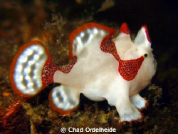 A very small juvenile Frogfish from Anilao, Philippines. by Chad Ordelheide